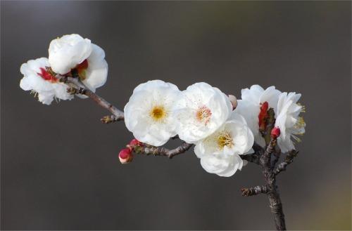 s-09.02.09 和歌山城公園の梅.jpg