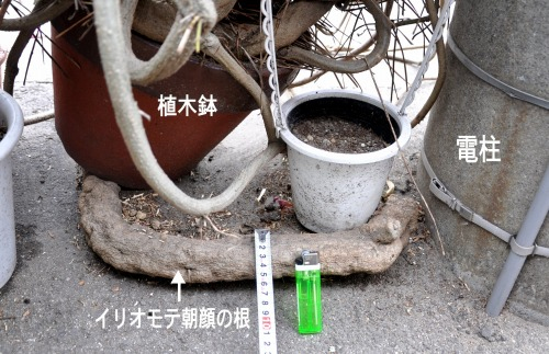 s-09.10.25 イリオモテ朝顔の根.jpg