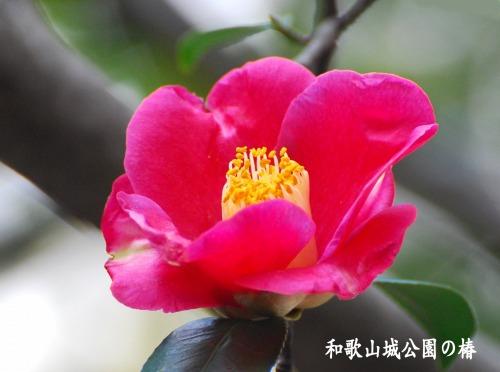 s-10.01.01 和歌山城公園の椿.jpg