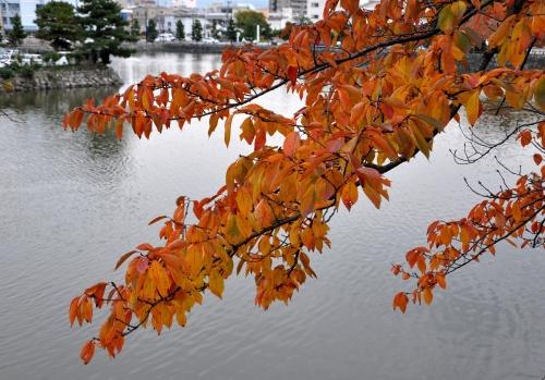 s-10.11.28 和歌山城公園.お濠の桜.jpg