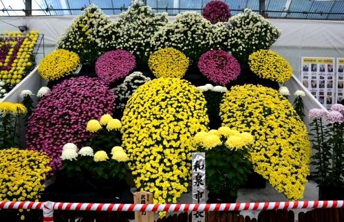 s-13.11.15 菊花展-2.jpg