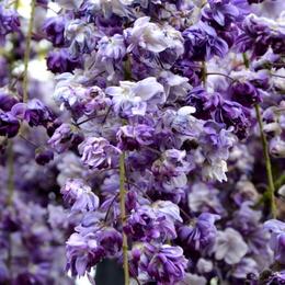 1-14.05.10 藤の花-6.jpg