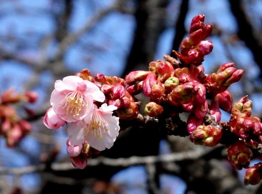 1-15.02.13 緋寒桜.jpg