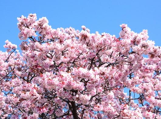 1-15.03.02 嘉ヶ作の桜-3.jpg