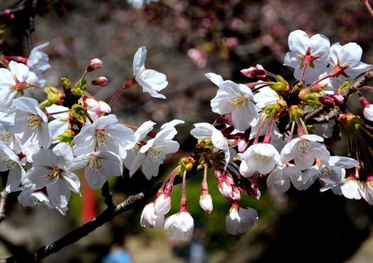 1-15.03.29 城内桜-2.jpg