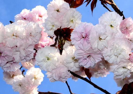 1-15.04.13 八重桜-1.jpg