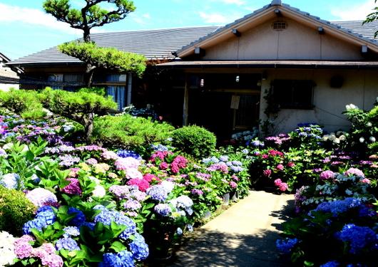 1-15.06.05 上木さん宅の紫陽花-1.jpg