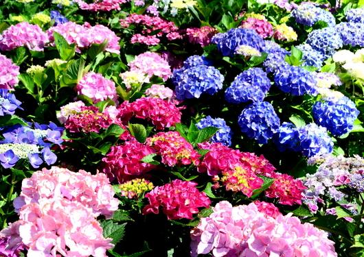 1-15.06.05 上木さん宅の紫陽花-4.jpg