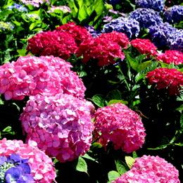 1-15.06.05 上木さん宅の紫陽花-5.jpg