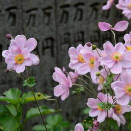 1-15.11.23 60番 横峰寺シュウメイギク-3.jpg