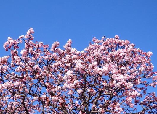 1-16.02.07 嘉ヶ作寒緋桜-1.jpg