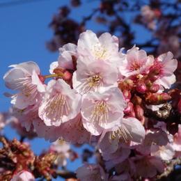 1-16.02.07 嘉ヶ作寒緋桜-5.jpg