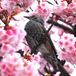 1-16.02.07 嘉ヶ作寒緋桜-6.jpg