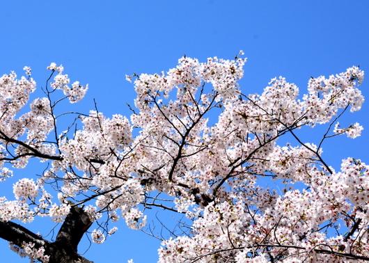 1-16.04.02 城内桜-5.jpg