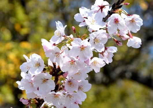 1-16.04.02 城内桜-7.jpg