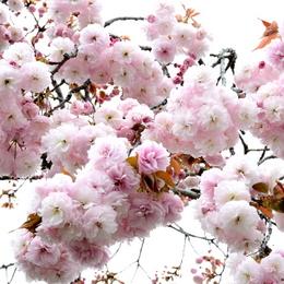 1-16.04.15 八重桜-2.jpg