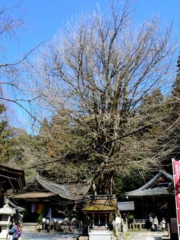 1-16.04.23 12番 岩間寺大銀杏の木.jpg