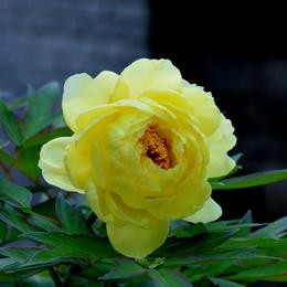 1-16.04.26 自宅の牡丹黄色-2.jpg