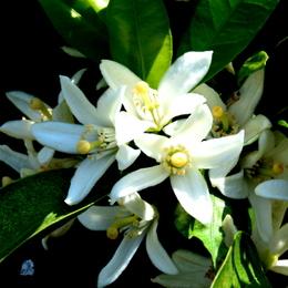 1-16.05.05 ミカンの花-3.jpg