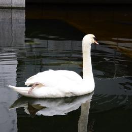 1-16.05.16 18番 頂法寺(六角堂) 池の白鳥.jpg