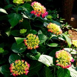 1-16.05.23 庭の紫陽花.jpg