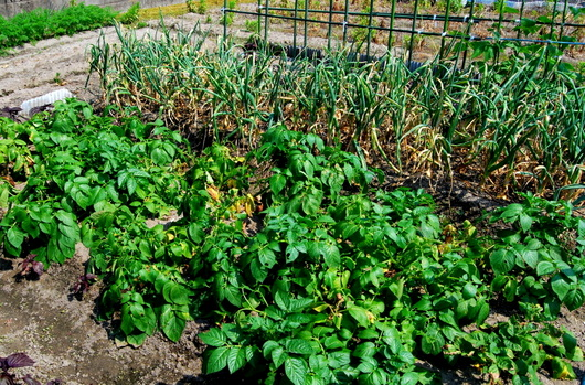 1-16.05.26 家庭菜園-6.jpg