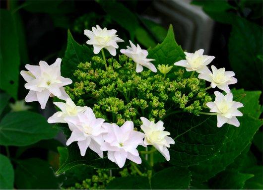 1-16.06.01紫陽花.jpg