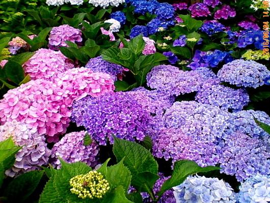 1-16.06.07 紫陽花-3.jpg