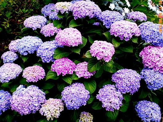 1-16.06.07 紫陽花-5.jpg