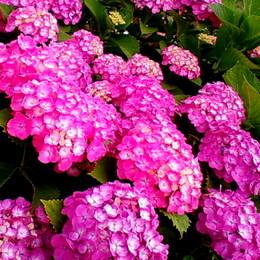 1-16.06.07 紫陽花-6.jpg