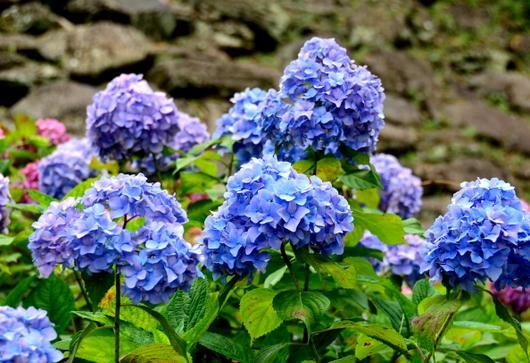 1-16.06.12 紫陽花-0.jpg