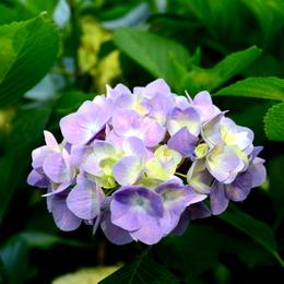 1-16.06.12 紫陽花-3.jpg