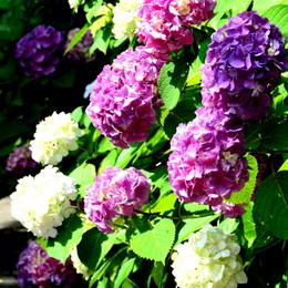 1-16.06.12 紫陽花-4.jpg