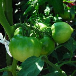 1-16.06.23 畑のトマト-2.jpg