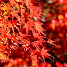 1-16.11.28 香嵐渓の紅葉-3.jpg