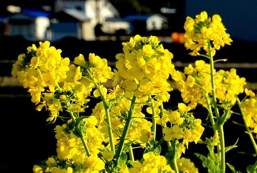 1-17.02.04 菜の花-2.jpg
