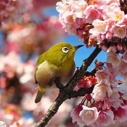 1-17.02.13 嘉ヶ作の桜-5.jpg