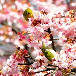 1-17.02.13 嘉ヶ作の桜-6.jpg