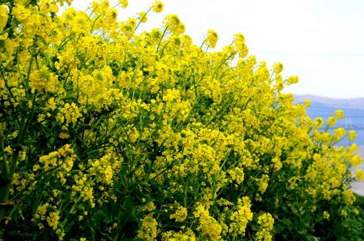 1-17.02.22 菜の花-1.jpg