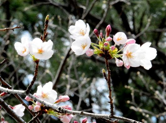 1-17.03.29 桜開花-1.jpg