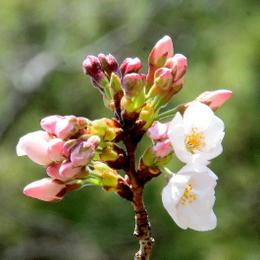 1-17.03.29 桜開花-2.jpg