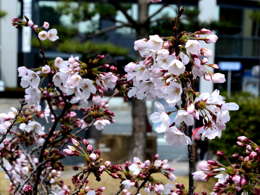 1-17.04.03 桜の開花状況-1.jpg