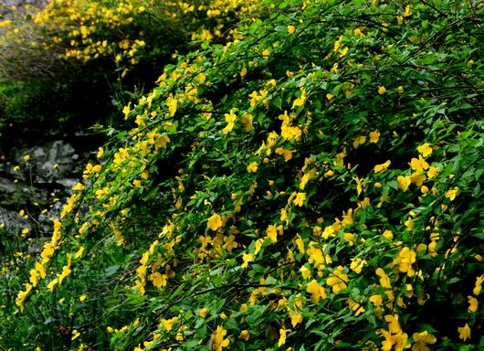 1-17.04.12 山吹の花-2.jpg