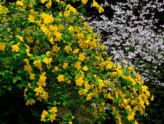 1-17.04.12 山吹の花-3.jpg