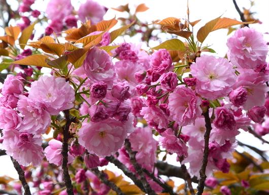 1-17.04.18 八重桜-1.jpg