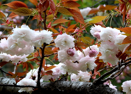 1-17.04.18 八重桜-2.jpg
