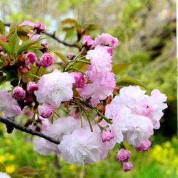 1-17.04.18 八重桜-4.jpg