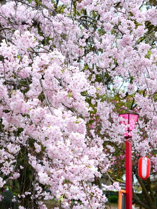 1-17.04.18 枝垂桜.jpg