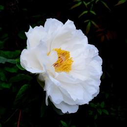 1-17.04.30 自宅の牡丹白色.jpg