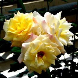 1-17.05.15 四季の郷公園のバラ-13.jpg